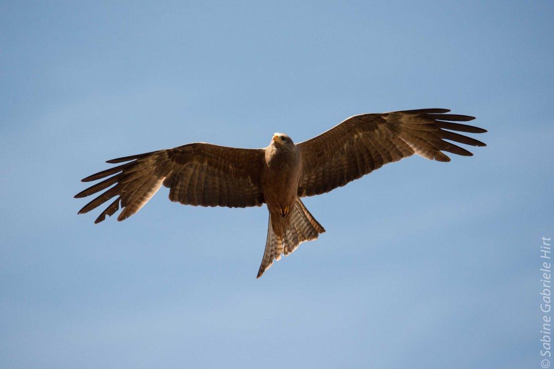 birds-in-flight-yellow-billed-kite