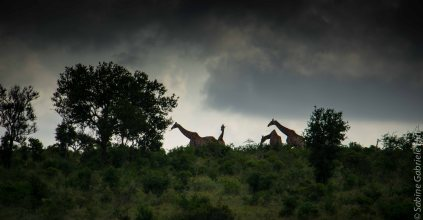 general-game-1-of-4-giraffes