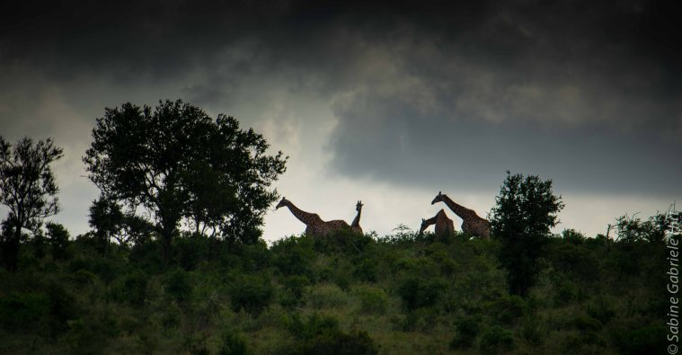 general-game-1-of-4-giraffes