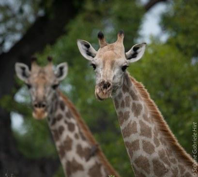 general-game-giraffe2