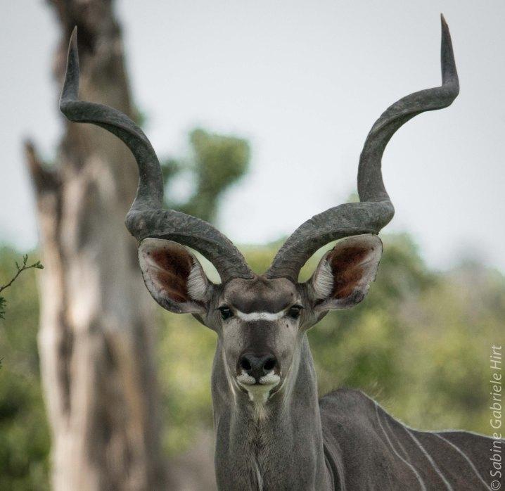 general-game-kudu