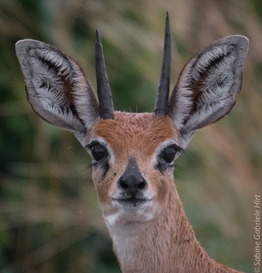 general-game-steenbok
