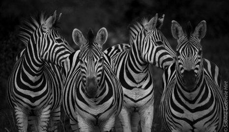 general-game-zebra1