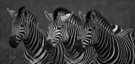 general-game-zebra2