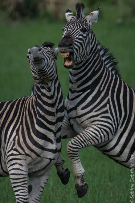 general-game-zebra3