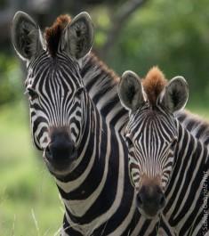general-game-zebra4